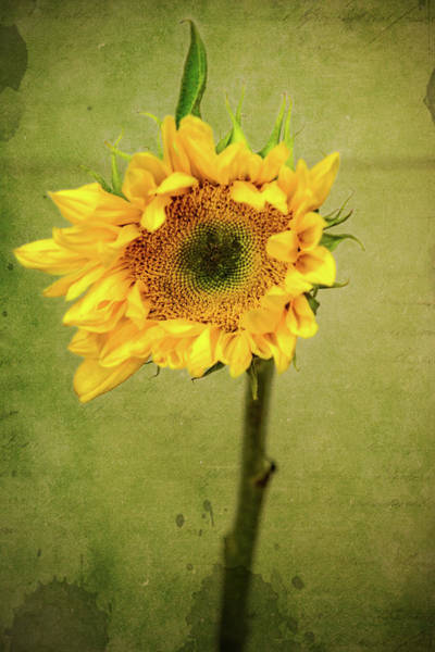Wall Art - Photograph - Sunflower 3 by Kevin O'Hare