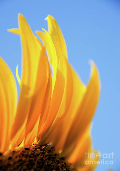 Photograph - Sunflower 4 by Andrea Anderegg