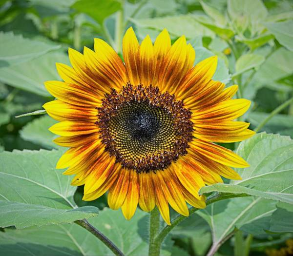 Wall Art - Photograph - Sunflower 4 by Charles HALL