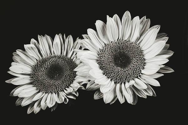 Sunflower #5 Art Print