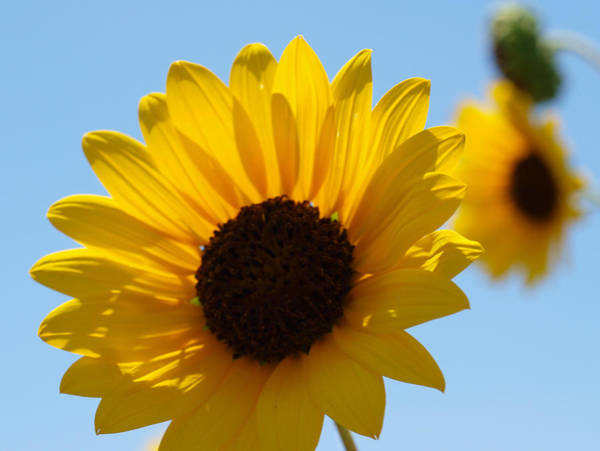 Photograph - Sunflower 4 by James Granberry