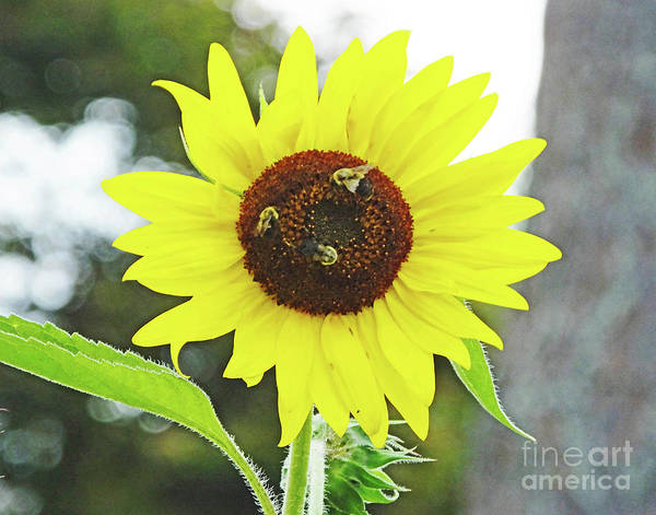 Photograph - Sunflower 49 And The Bees by Lizi Beard-Ward