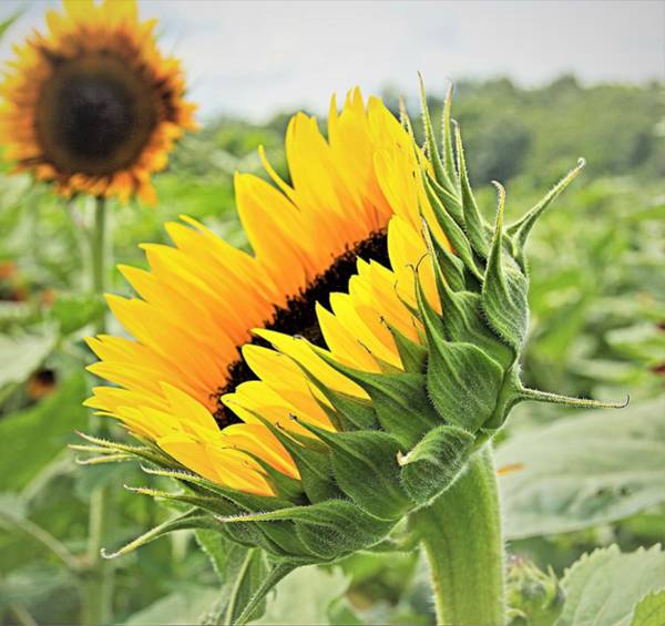 Wall Art - Photograph - Sunflower 5 by Charles HALL