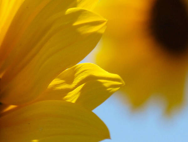 Photograph - Sunflower 5 by James Granberry