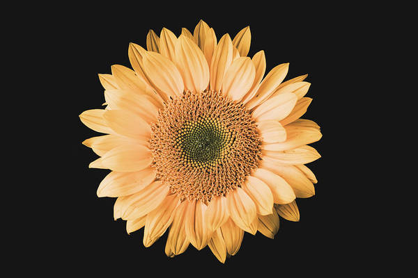 Photograph - Sunflower #6 by Desmond Manny