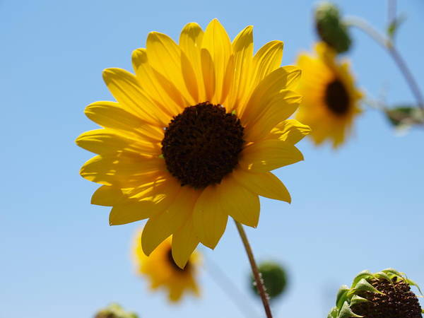 Photograph - Sunflower 6 by James Granberry