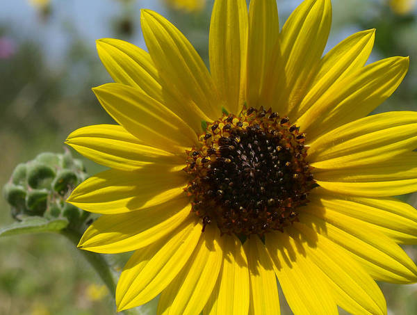 Photograph - Sunflower 9  by James Granberry