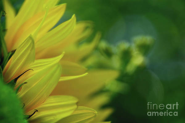 Wall Art - Photograph - Sunflower Abstract By Kaye Menner by Kaye Menner