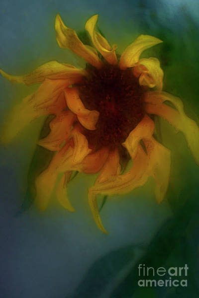 Alexander Vinogradov Photograph - Sunflower. by Alexander Vinogradov