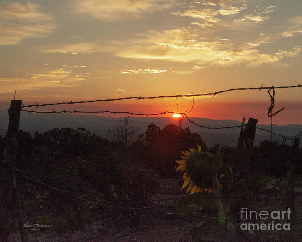 Photograph - Sunflower And Barbwire by Steven Natanson