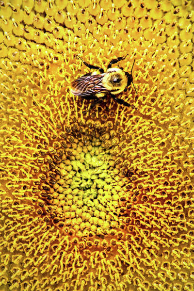 Photograph - Sunflower And Bee by Don Johnson