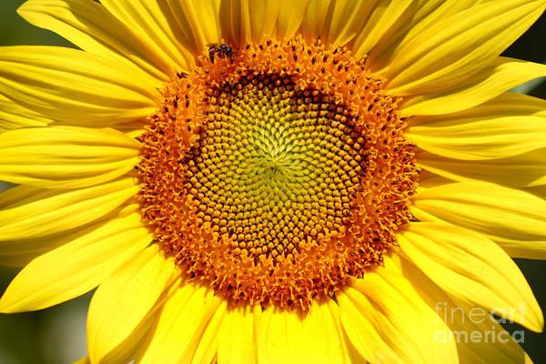Photograph - Sunflower And Bee by Karen Adams