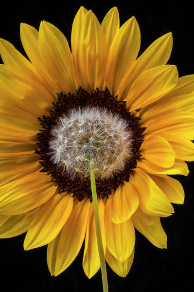 Dandelion Puff Photograph - Sunflower And Dandelion by Garry Gay