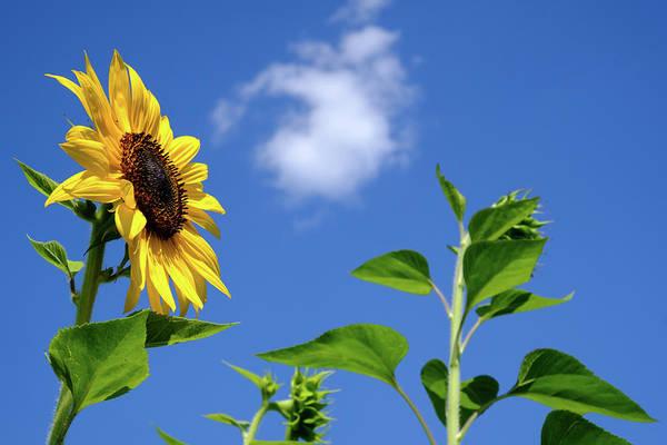 Photograph - Sunflower And Friend by Glenn DiPaola