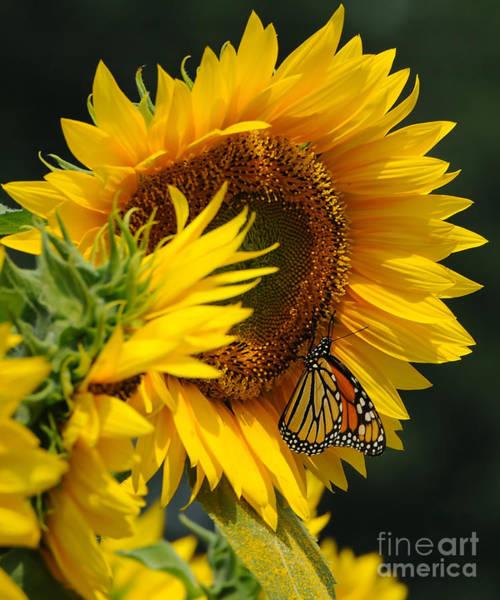 Wall Art - Photograph - Sunflower And Monarch 3 by Edward Sobuta