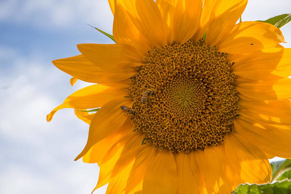 Sunflower And The Bee  Art Print