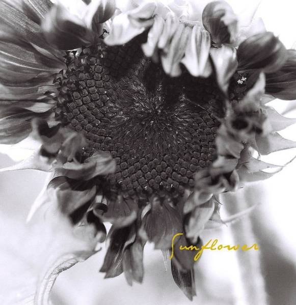 Photograph - Sunflower by AnnaJanessa PhotoArt