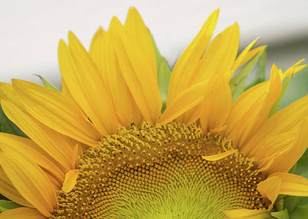 Photograph - Sunflower Arch by Patti Deters