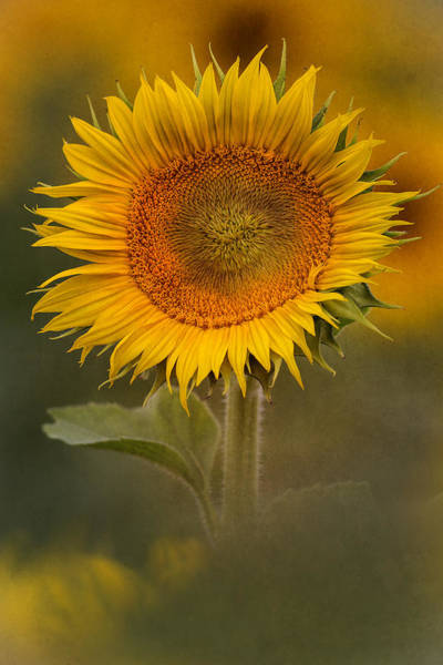 Wall Art - Photograph - Sunflower Art by Dale Kincaid