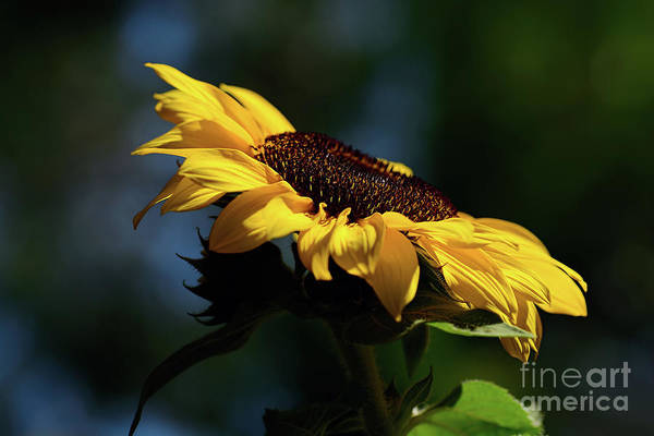 Sunflower Seeds Photograph - Sunflower At Sunset By Kaye Menner by Kaye Menner