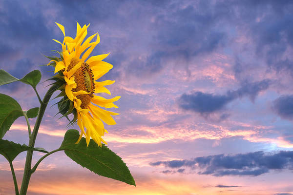 Photograph - Sunflower At Sunset by Gill Billington