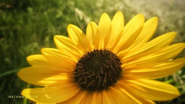 Photograph - Sunflower At Sunset  by Nathan Little