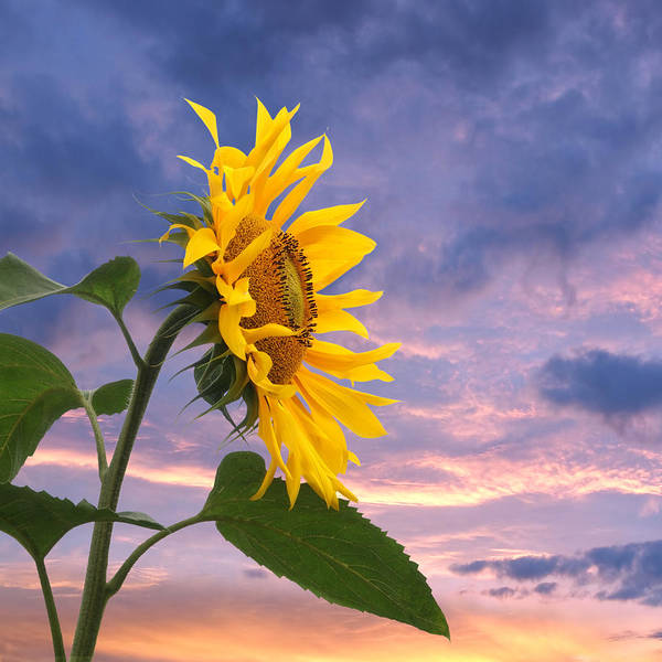 Photograph - Sunflower At Sunset Square by Gill Billington
