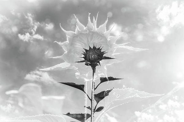 Wall Art - Photograph - Sunflower Aura Black And White by Linda Eszenyi