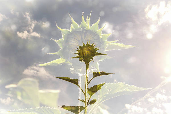 Wall Art - Photograph - Sunflower Aura by Linda Eszenyi