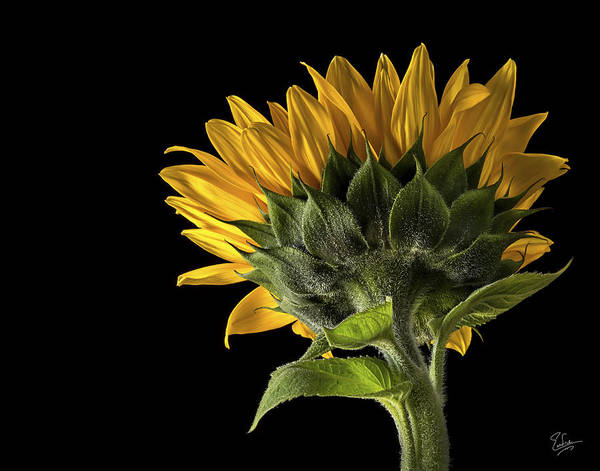 Photograph - Sunflower Back by Endre Balogh