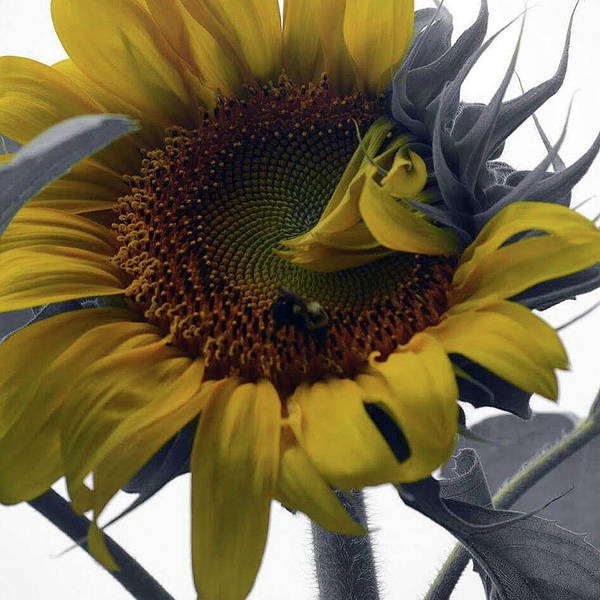 Sunflower Bee Art Print