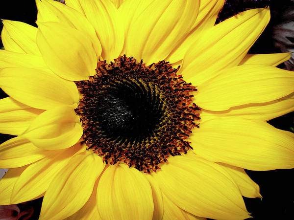 Sunflower Big And Beautiful Art Print by Julie Palencia
