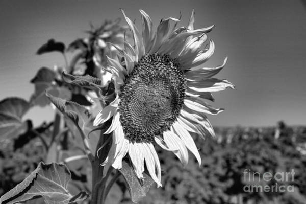 Wall Art - Photograph - Sunflower Black And White by Jeff Swan