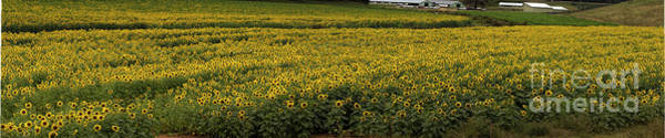 Photograph - Sunflower Bliss Panorama by Barbara Bowen