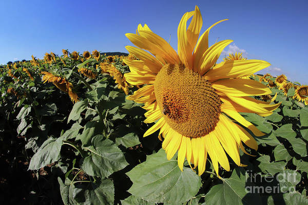 Wall Art - Photograph - Sunflower Bloom With Honey Bee by Michal Boubin