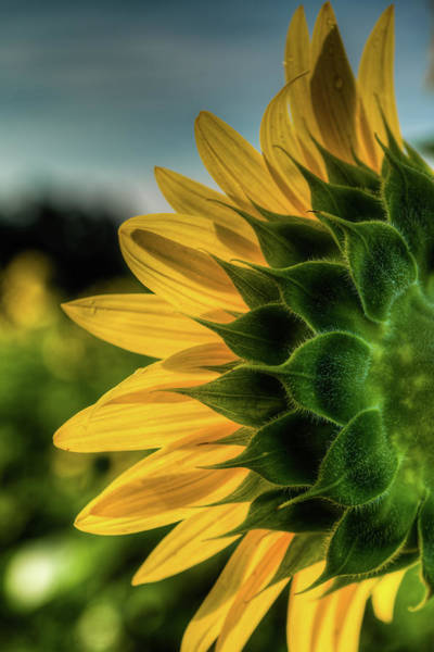 Photograph - Sunflower Blooming Detailed by Dennis Dame