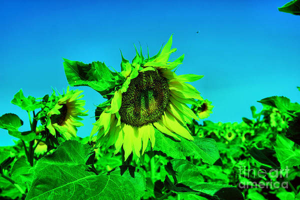 Wall Art - Photograph - Sunflower Blossoms by Jeff Swan