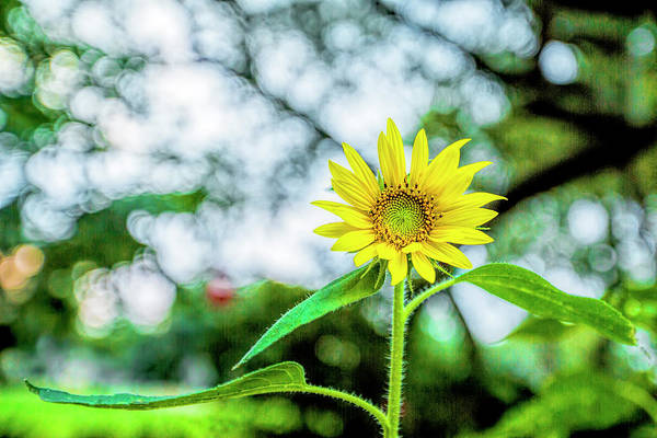 Photograph - Sunflower Bokeh-licious by Kay Brewer