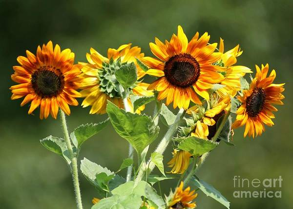 Photograph - Sunflower Bouquet by Sabrina L Ryan
