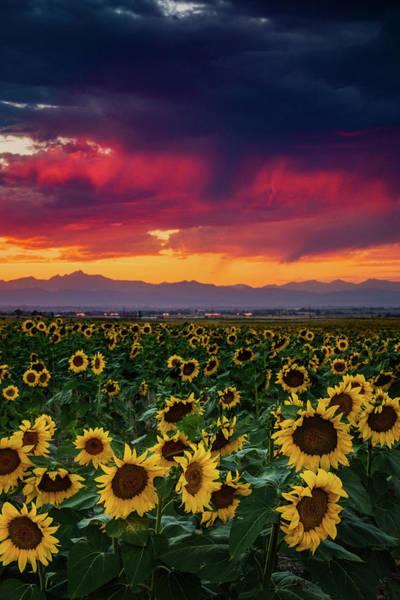 Photograph - Sunflower Brilliance by John De Bord