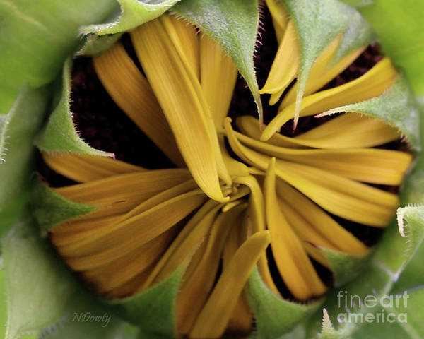 Photograph - Sunflower Bud by Natalie Dowty