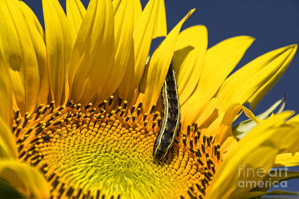 Photograph - Sunflower Trespasser by Crystal Nederman