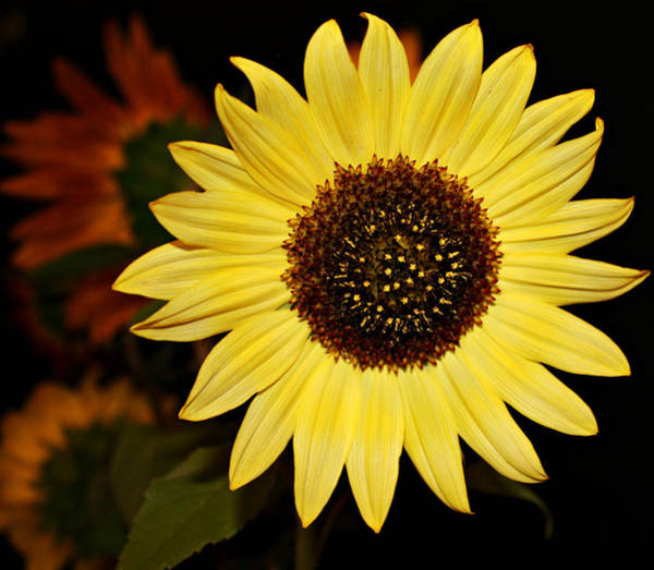 Fall Flowers Photograph - Sunflower by Cathie Tyler