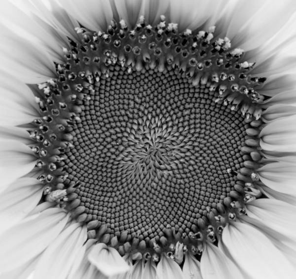 Photograph - Sunflower Centered Black And White by Terry DeLuco