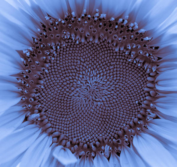 Photograph - Sunflower Centered Blue by Terry DeLuco