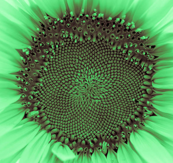 Photograph - Sunflower Centered Green by Terry DeLuco