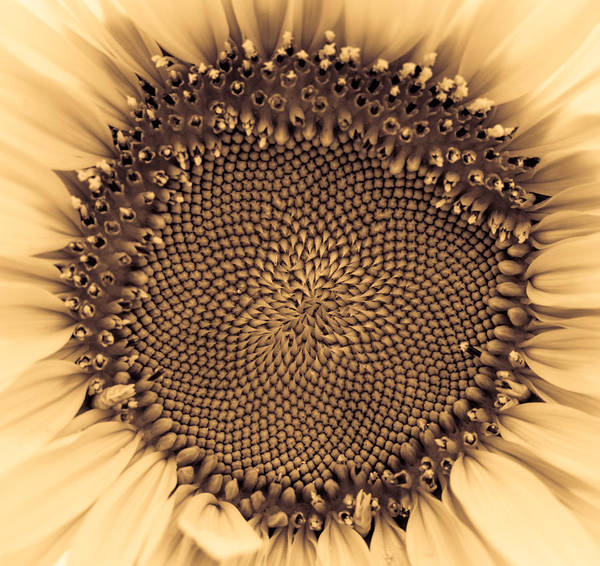 Photograph - Sunflower Centered Pale Yellow by Terry DeLuco