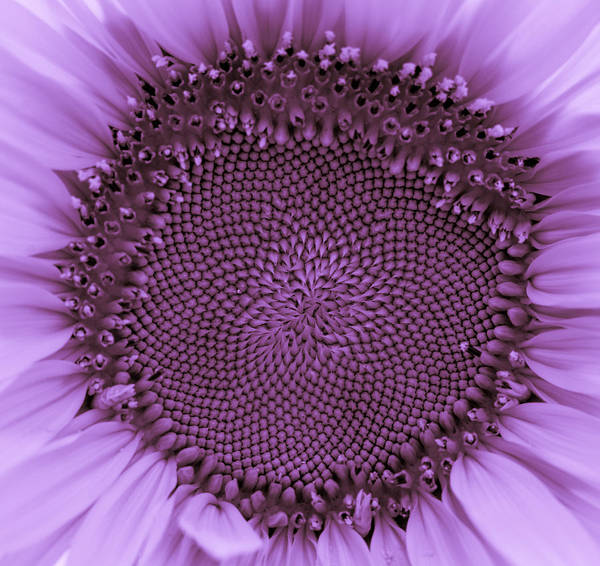 Photograph - Sunflower Centered Purple by Terry DeLuco