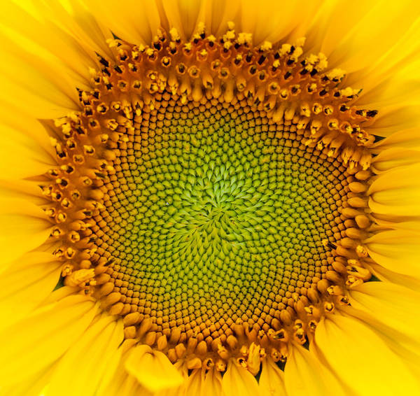Photograph - Sunflower Centered by Terry DeLuco