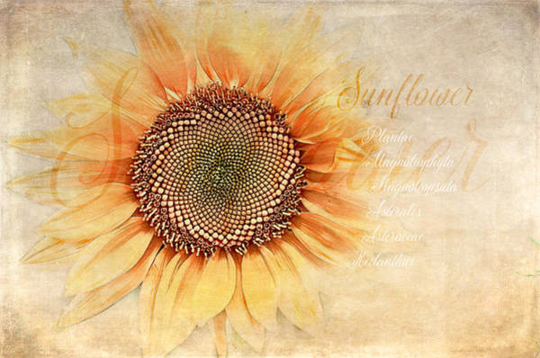 Wall Art - Digital Art - Sunflower Classification by Terry Davis